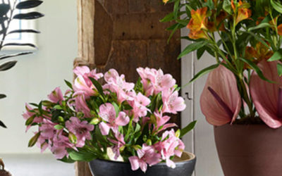 Alstroemeria staat in mei op de Bloemenagenda